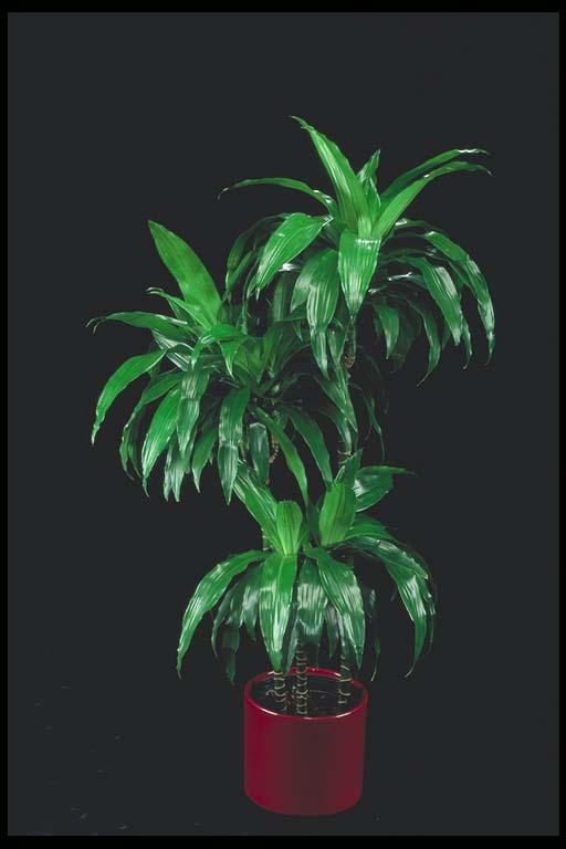 http://greenscenes.biz/images/catalog_library/dracaena_janet_craig.jpg