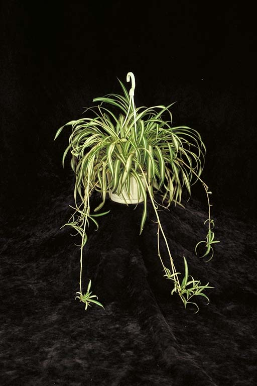 Spider plant type asexual reproduction in plants